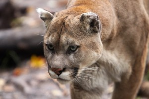 Animal Mountain Lion